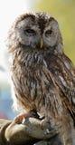 猫头鹰黄褐色 免版税库存照片