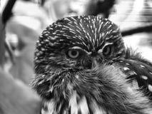 猫头鹰B&W 库存照片