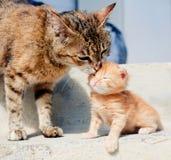 猫她小猫舔 免版税库存图片