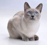 猫好奇查找暹罗语 库存照片