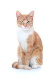猫好的红色 库存照片