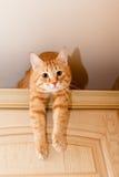 猫姜平纹 免版税库存照片