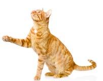 猫嬉戏的平纹 背景查出的白色 免版税库存照片