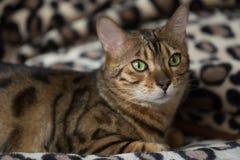 猫孟加拉的画象 免版税库存照片