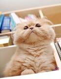 猫宏观波斯语 免版税库存图片