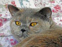 猫家谱姿势 库存图片