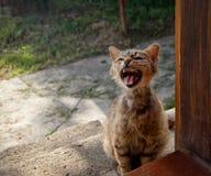猫对门尖叫,请求食物 库存照片