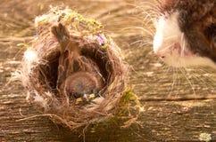 猫寻找一只小鸟,坐在巢的麻雀 免版税库存图片