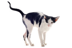 猫小便的东方人 免版税库存图片