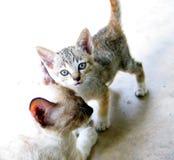 猫小猫母亲 免版税库存照片