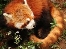 猫小豹子的熊猫 库存图片