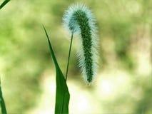 猫尾巴植物 免版税库存照片