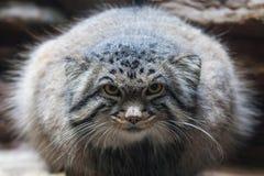 猫属Manul 库存图片