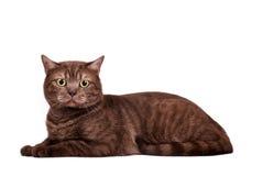 猫巧克力 免版税库存照片