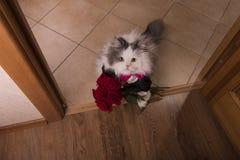 猫带来了玫瑰作为礼物给他的妈妈 免版税库存图片