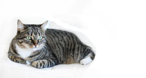 猫平纹白色 库存图片