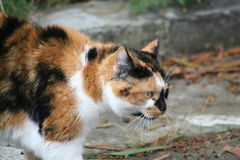 猫平纹 免版税图库摄影