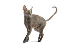 猫康沃尔rex 免版税库存图片
