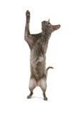 猫康沃尔rex 免版税库存照片