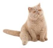 猫异乎寻常的头发的短小 免版税库存图片
