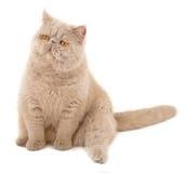 猫异乎寻常的头发的短小 库存图片