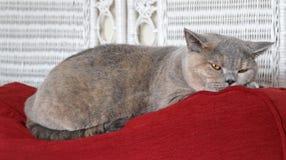 猫微睡 免版税图库摄影