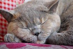 猫微睡 库存照片
