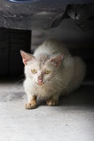 猫怒视 免版税库存图片