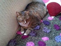 猫惊人的平纹 库存照片
