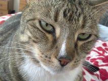 猫惊人的平纹 免版税库存照片