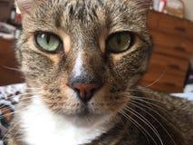 猫惊人的平纹 免版税图库摄影
