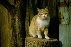 猫感兴趣查出的看起来被射击的坐的工作室白色 图库摄影