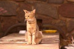 猫感兴趣查出的看起来被射击的坐的工作室白色 库存照片