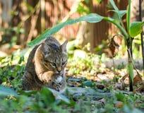 猫戏剧在庭院里 库存图片