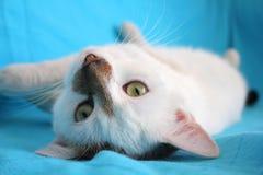 猫戏剧 免版税库存照片