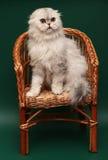 猫折叠头发的长的苏格兰人 库存图片