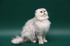 猫折叠头发的长的苏格兰人 库存照片