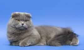 猫折叠头发的长的苏格兰人 图库摄影