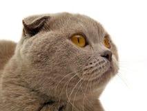 猫折叠苏格兰人 库存图片