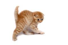猫折叠苏格兰人 库存照片