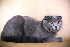 猫折叠苏格兰人 图库摄影