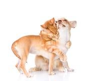 猫拥抱和叮咬小狗 背景查出的白色 图库摄影