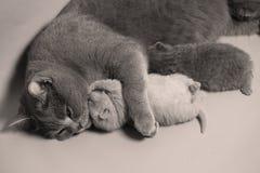 猫拥抱她的充满爱的小猫 免版税图库摄影