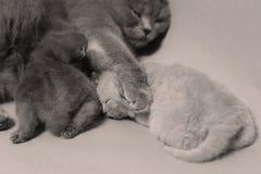 猫拥抱她的充满爱的小猫 免版税库存照片