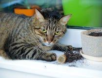 猫挖掘了仙人掌 免版税库存图片