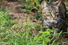 猫捉住了一只老鼠 图库摄影