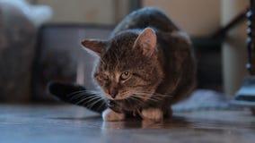 猫捉住了一只老鼠 影视素材