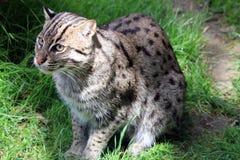 猫捕鱼希腊海岛samos 免版税库存照片