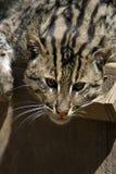猫捕鱼 免版税图库摄影