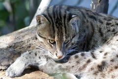 猫捕鱼 免版税库存照片